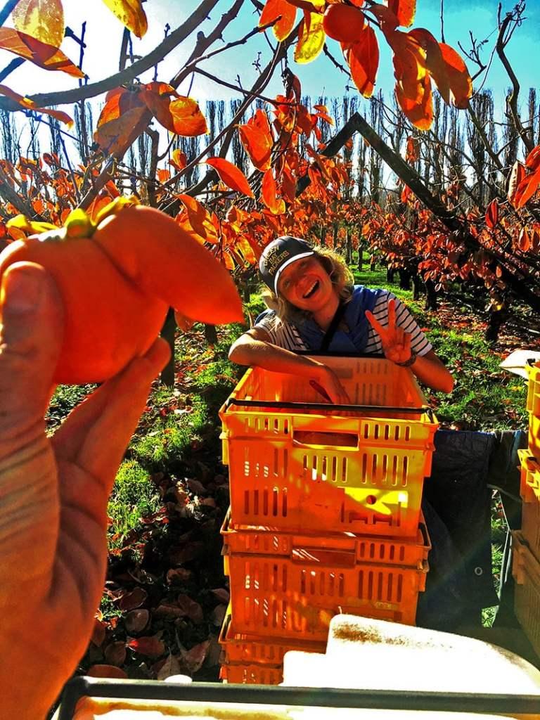 Trouver du travail en Nouvelle Zélande : le fruit picking
