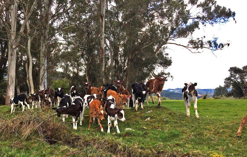 Industrie laitière en Nouvelle-Zélande