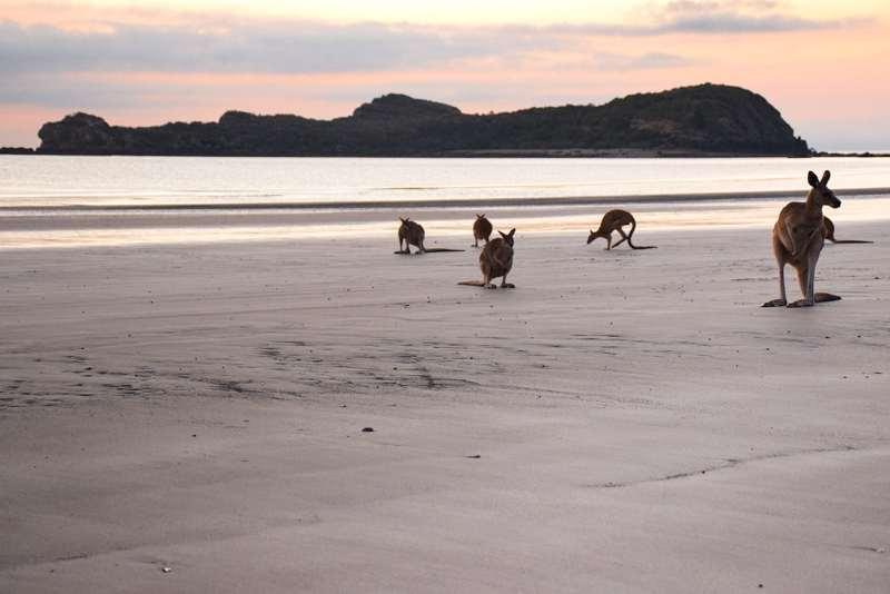 Voir des kangourous sur la plage en Australie sur la côte Est