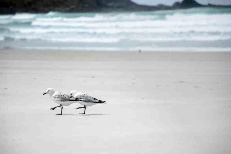 Mouettes sur la plage en Nouvelle-Zélande