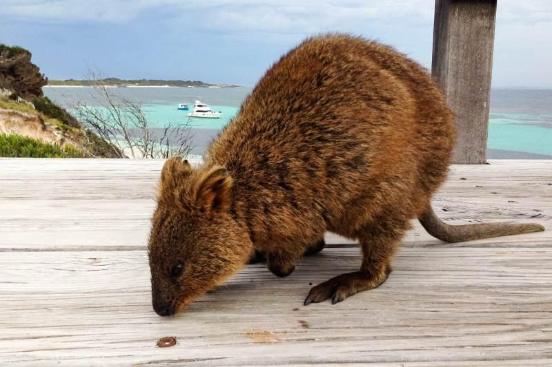 Quokka en australie sur Rottness island