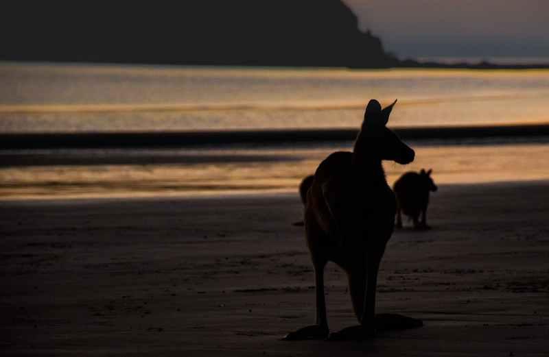 Animaux en Australie : kangourou sur la plage