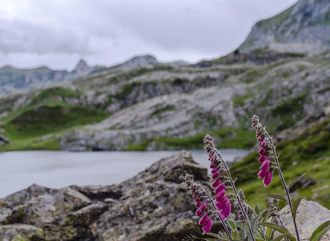 Fleurs de printemps aux lacs d'Ayous