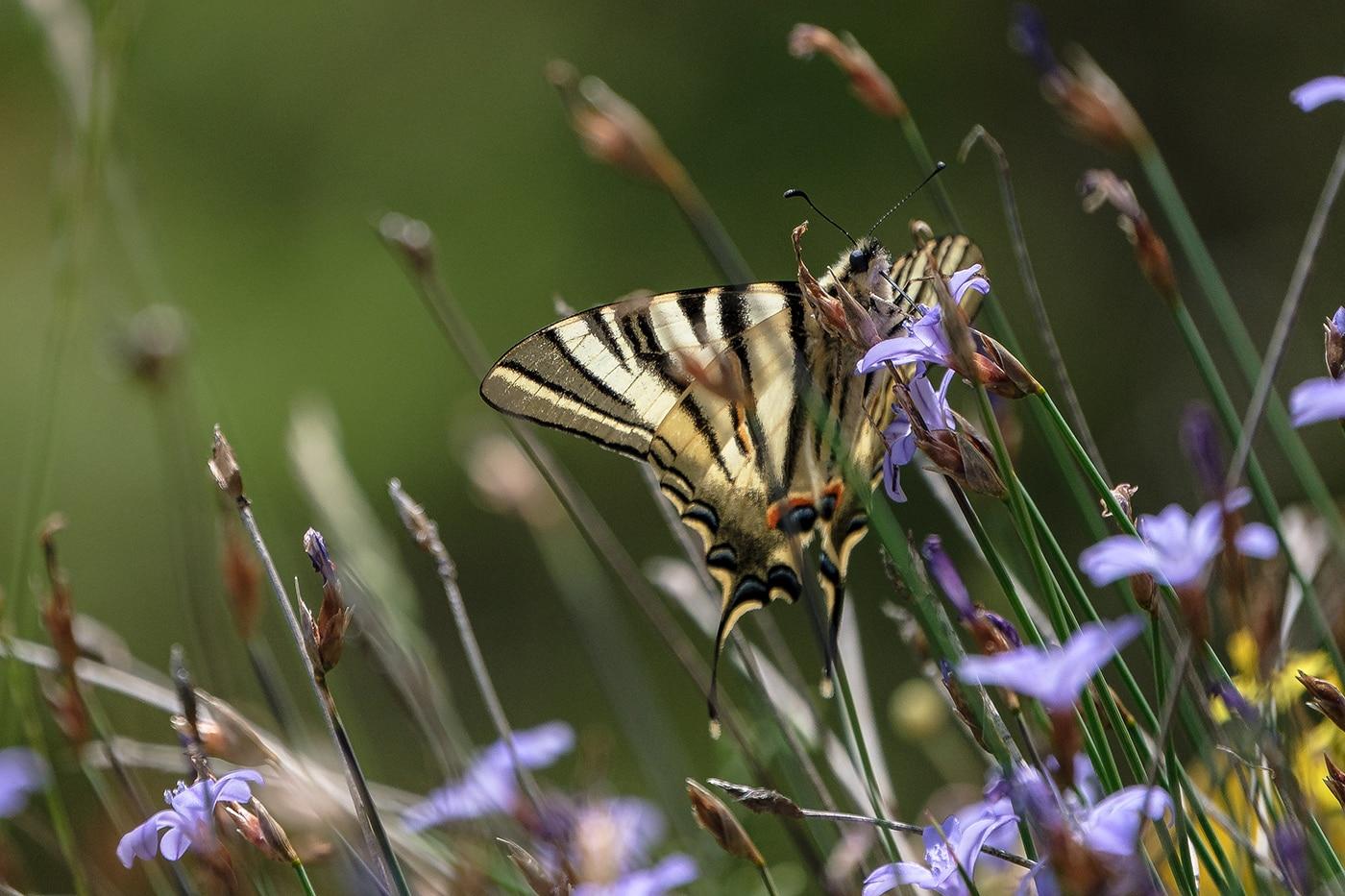 Papillon dans les Gorges de la Jonte