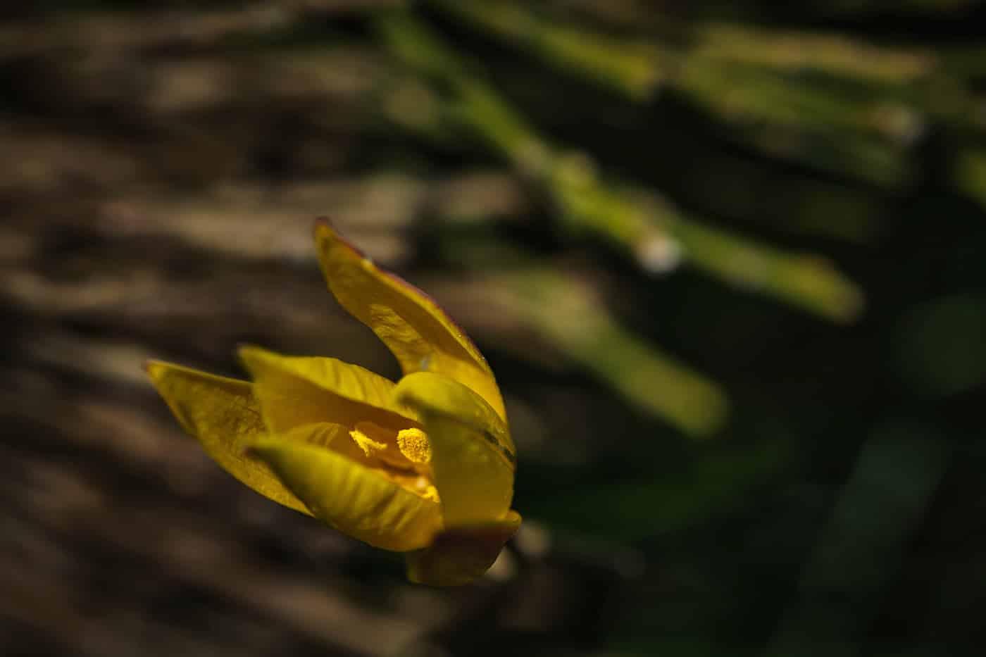 Tulipe sauvage randonnée sommet de Finiels