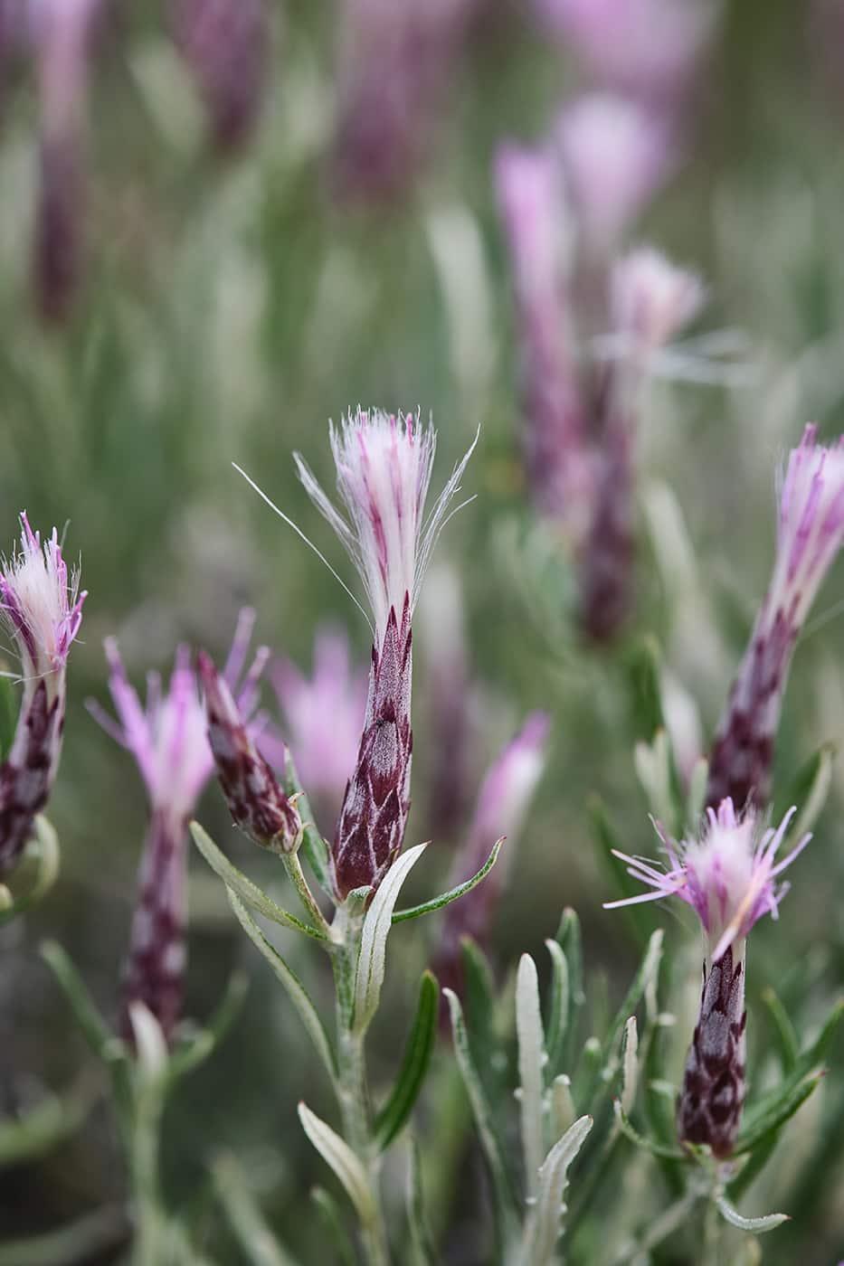 Fleur randonnée Finestras