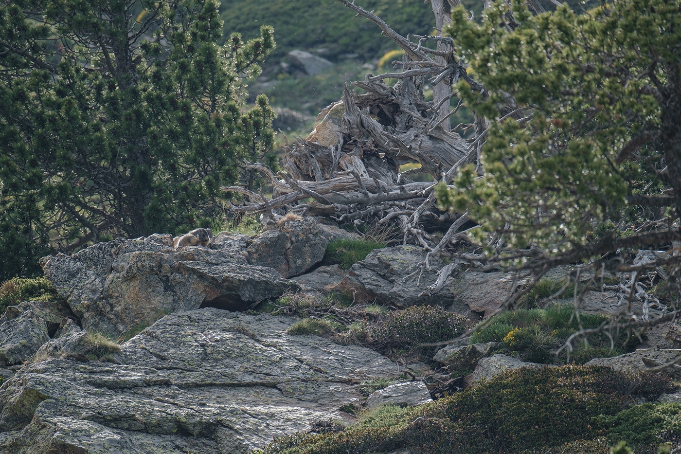 Marmotte au refuge des Cortalets