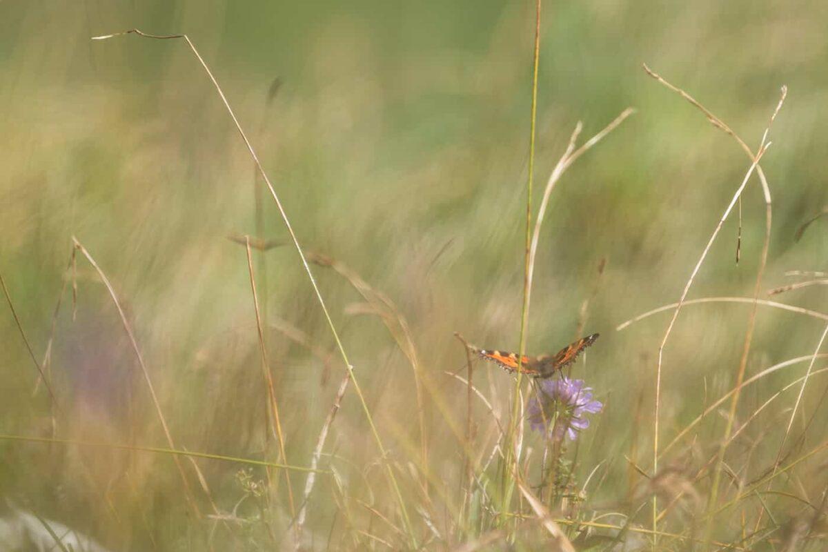 Papillon au crêt de la neige dans le Jura