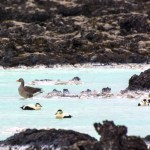 Oiseaux Blue Lagoon, Reykjanes