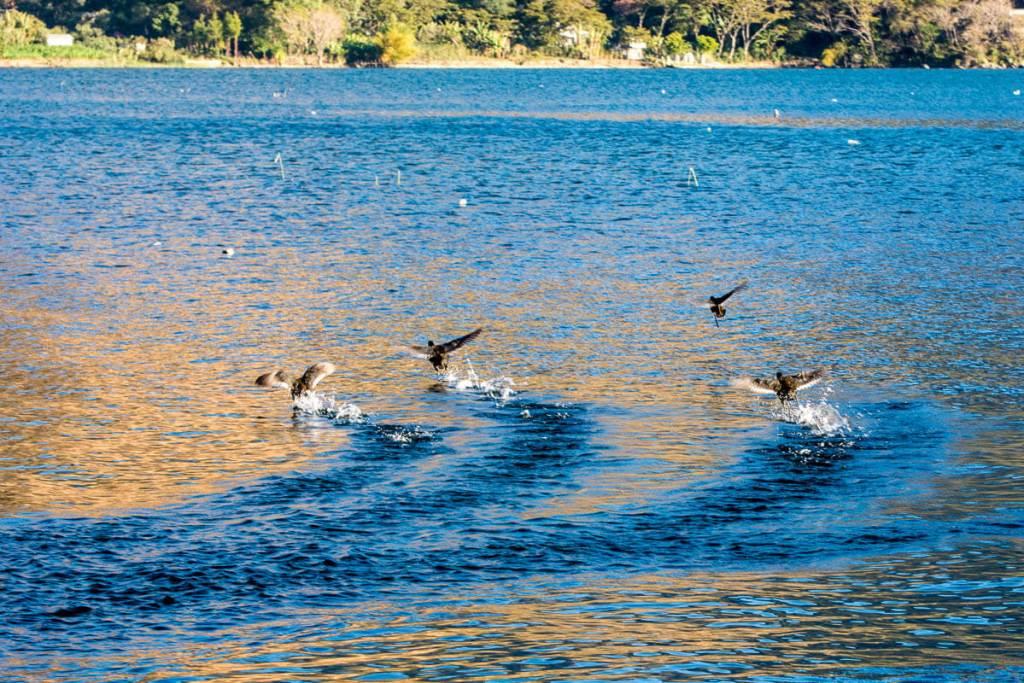 Guatemala - San Juan de la Laguna - envol d'oiseaux sur le lac Atitlan