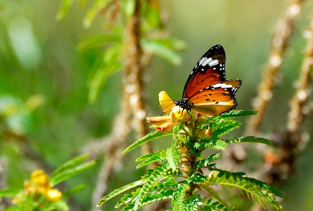 Madagascar - Vallée de Tsaranoro, papillon