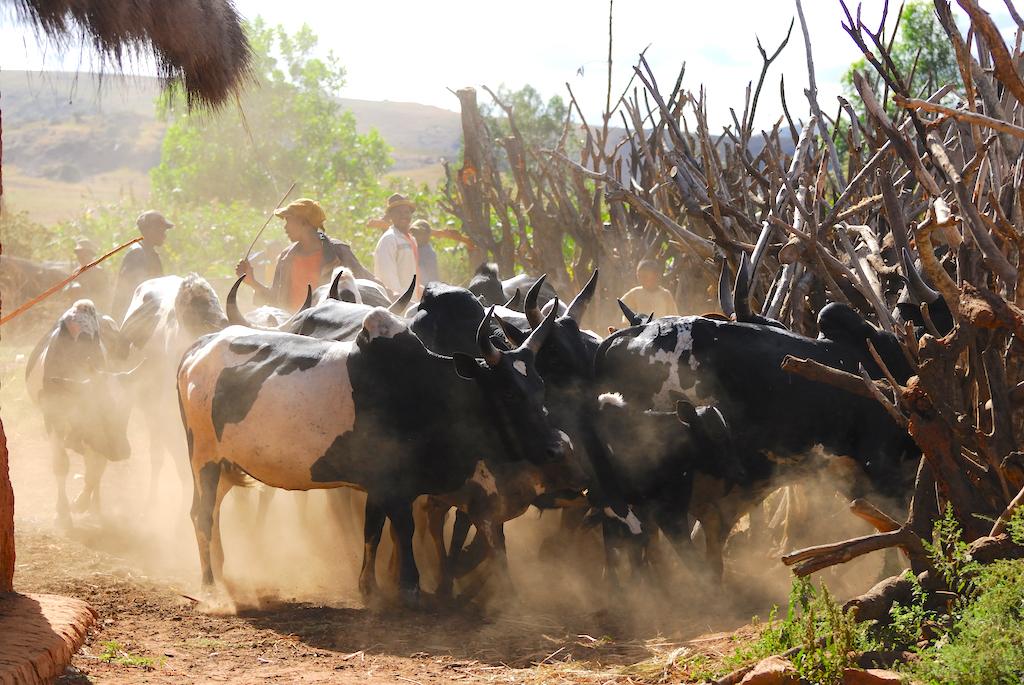 Madagascar - village de Tsaranoro, jour de vaccination des troupeaux