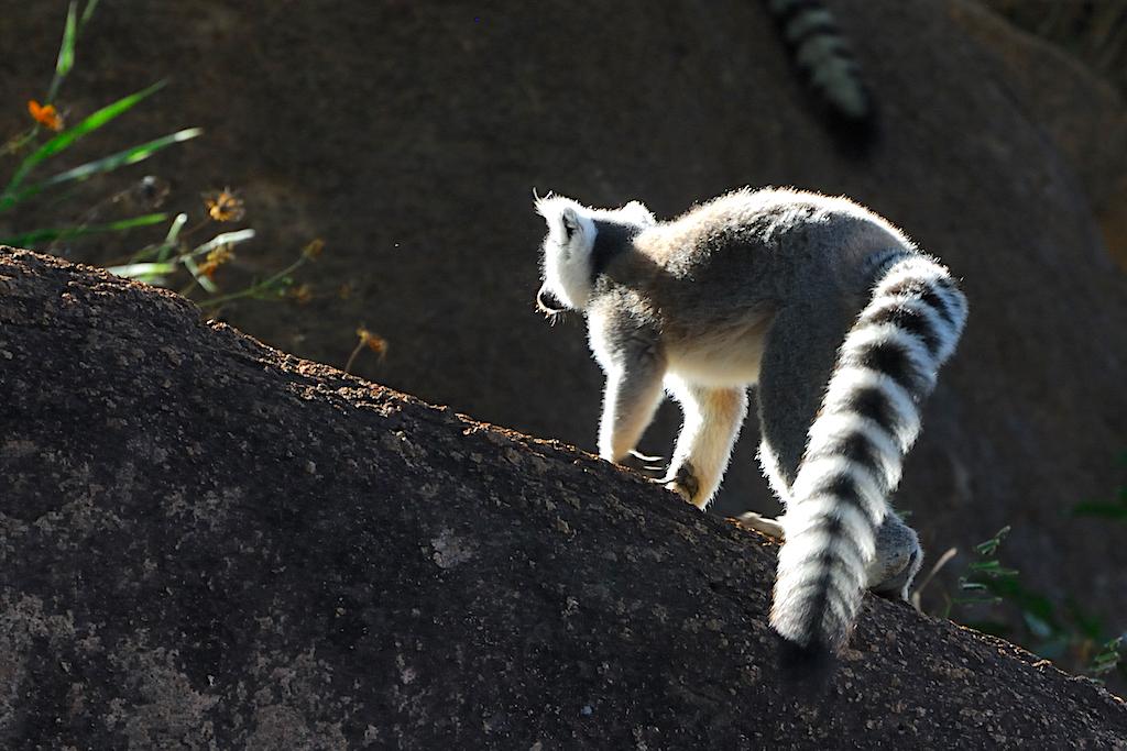 Madagascar - Vallée de Tsaranoro, camp Catta