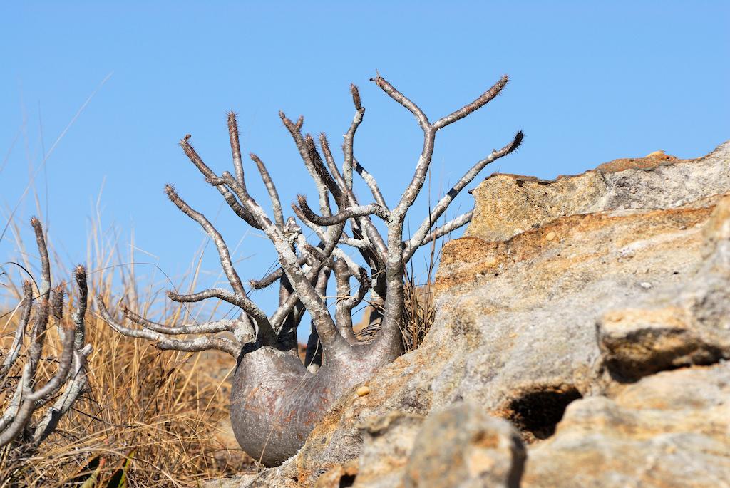 Madagascar - Parc de l'Isalo, euphorbiacée dite baobab nain