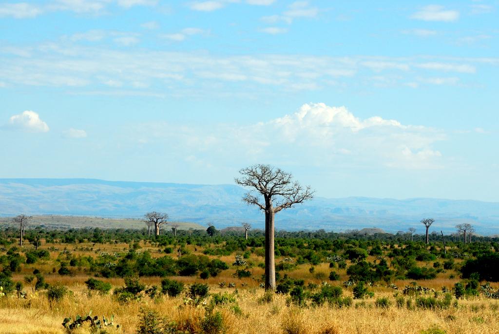 Madagascar - le sud, de Isalo à Tuléar, baobabs après disparition de la forêt