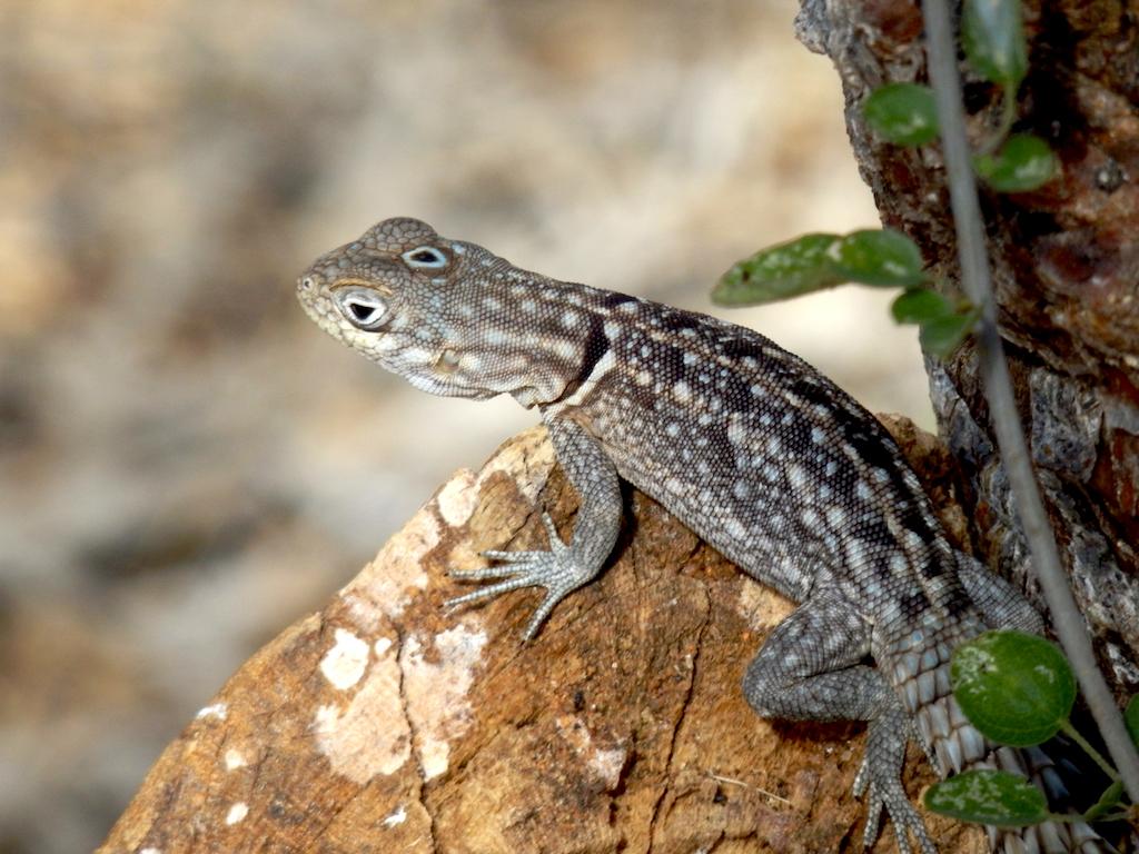Madagascar - région de Tuléar, réserve de Réniala, lézard