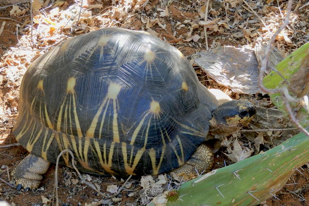 Madagascar - Tortue endémiqueà la réserve de Reniala