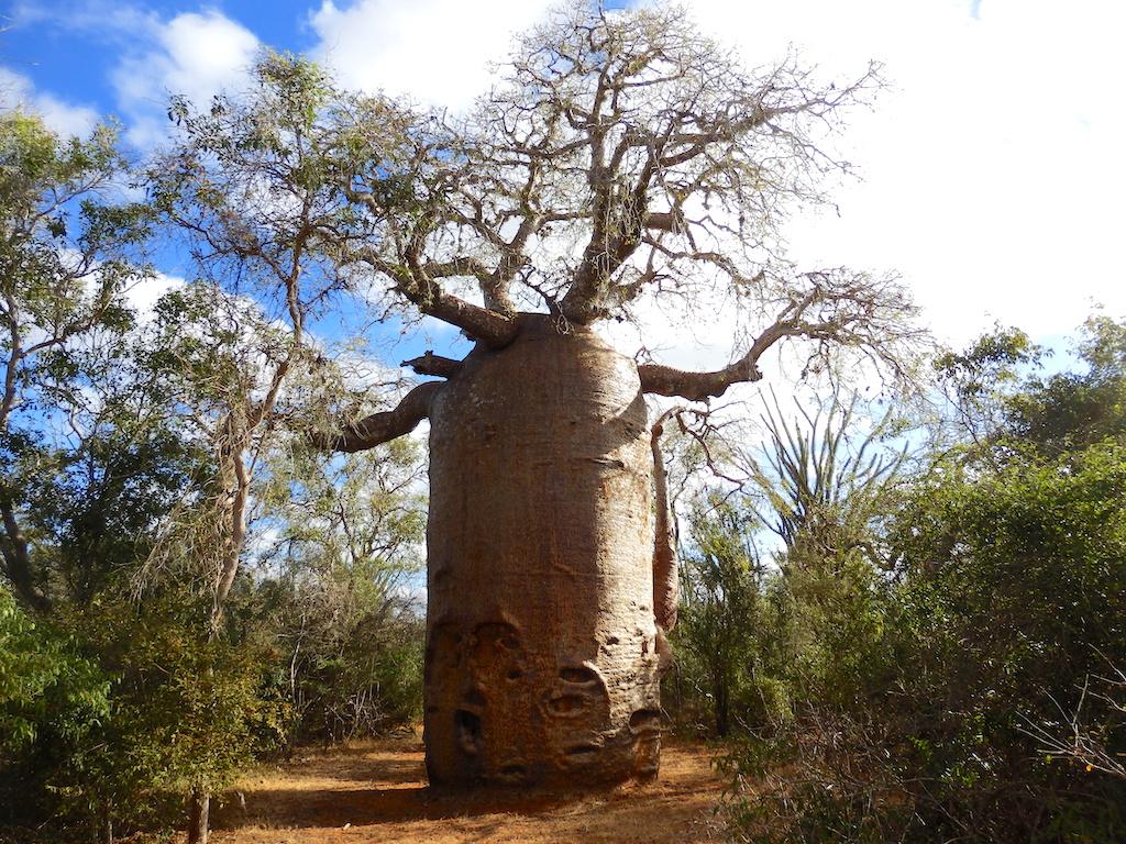 Madagascar - région de Tuléar, réserve de Réniala, baobab géant