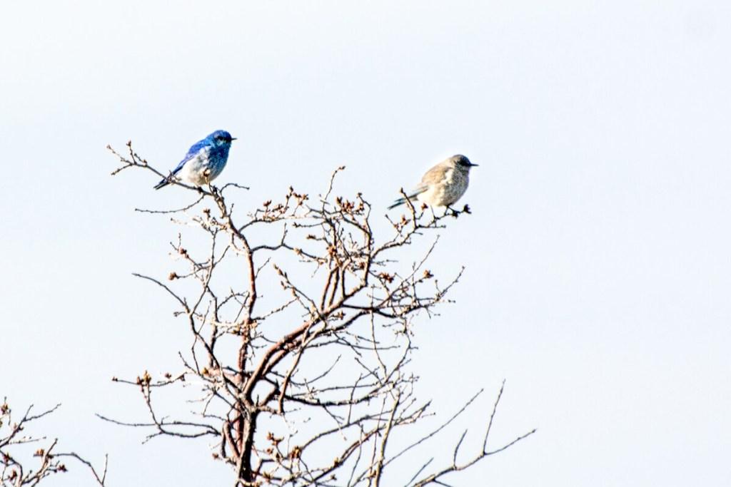 Mesa Verde - Couple de merlebleus azuré Sialia currucoides - Mountain Bluebird