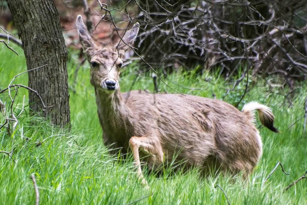 Zion National Park - Cerf mulet, Cerf hémione ou Cerf à queue noire2 (Odocoileus hemionus)