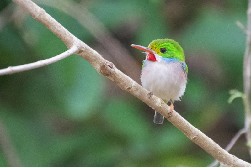 Cuba - l'île aux oiseaux, Todier de Cuba