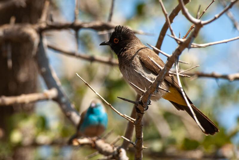 Afrique australe - Botswana. Bulbul brunoir et Cordonbleu d'Angola