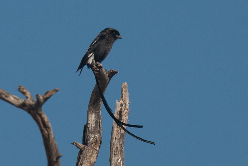 Afrique australe - Botswana. Corvinelle noir et blanc (Urolestes melanoleucus) - Magpie Shrike
