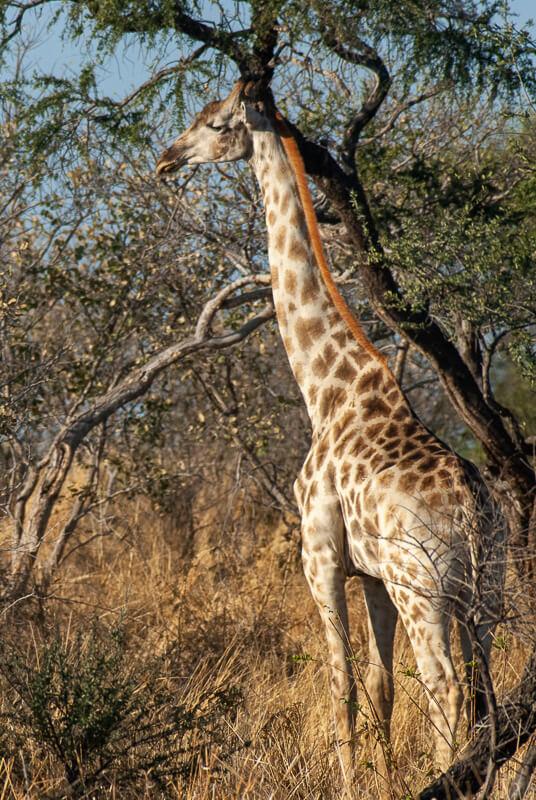 Afrique australe - Botswana. Girafe