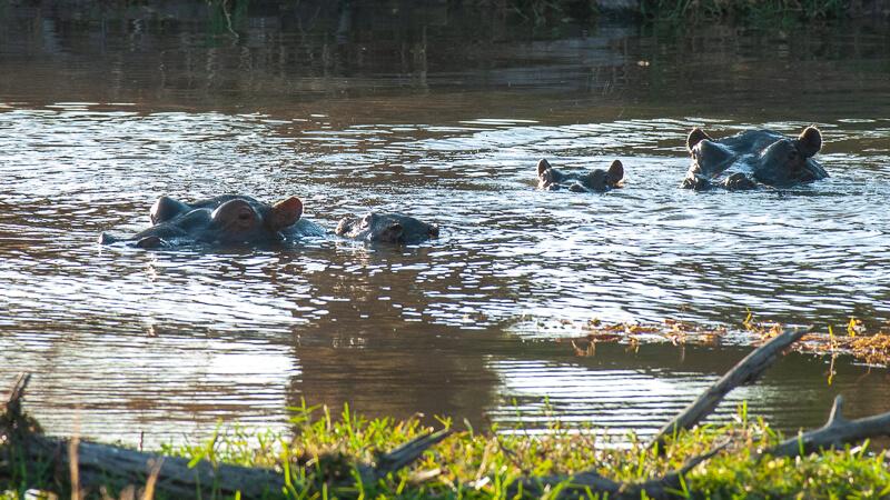 Afrique australe - Botswana. mare aux hippopotames