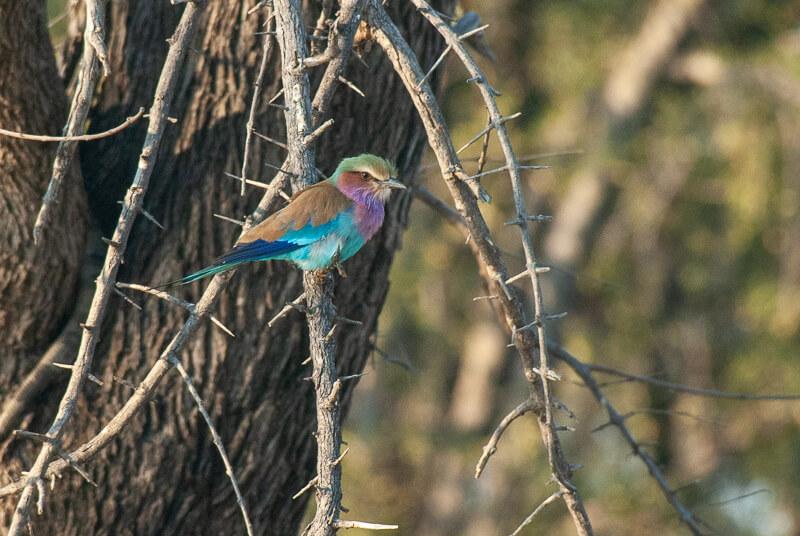 Afrique australe - Botswana. Rollier à longs brins (Coracias caudatus) - Lilac-breasted Roller