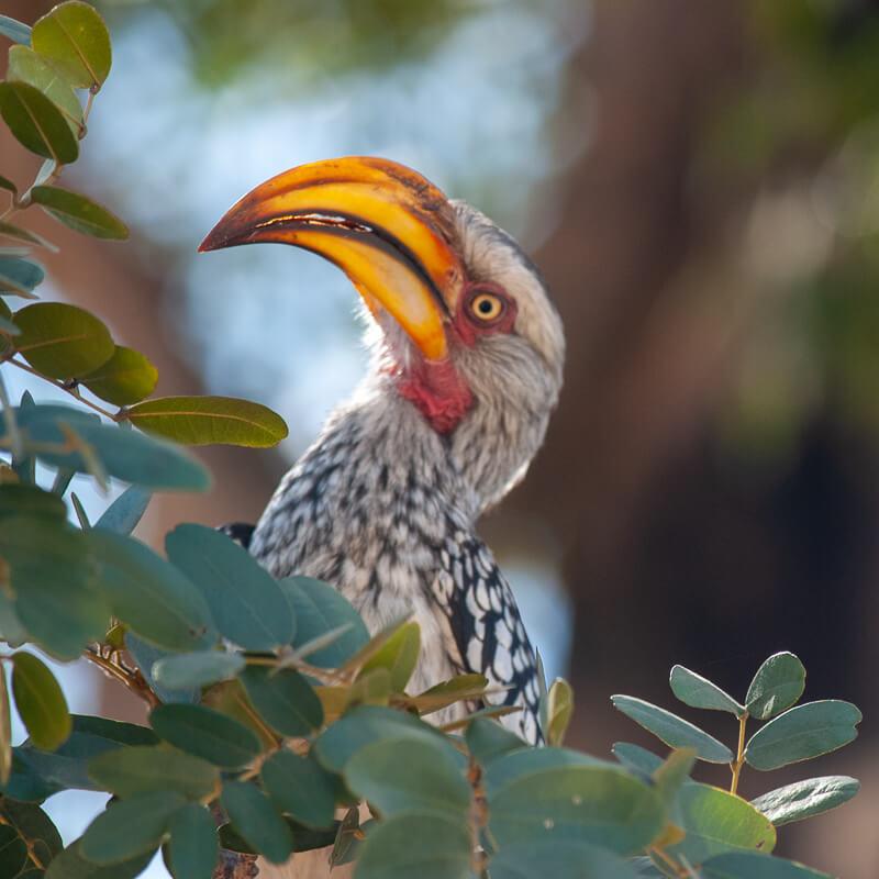 Afrique australe - Botswana. Calao à bec jaune ( Tockus flavirostris )- Eastern Yellow-billed Hornbill