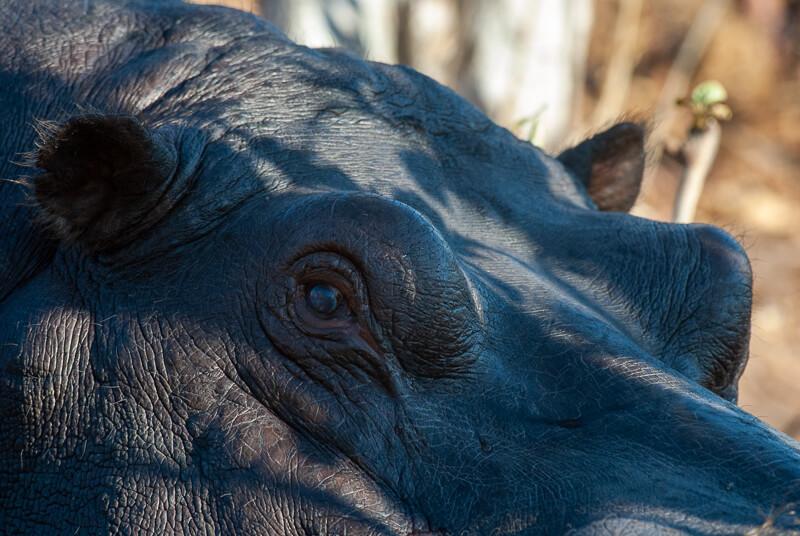 Afrique australe - Botswana, Chobe - Hippopotame