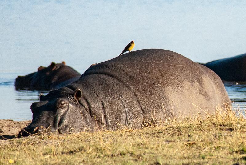 Afrique australe - Botswana, Chobe - Hippopotames et pique-boeufs à bec rouge