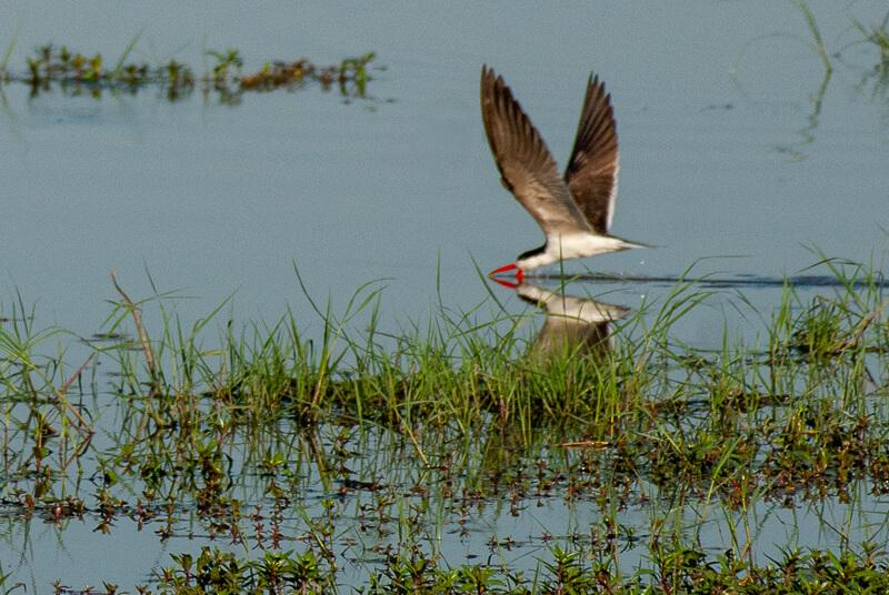 Afrique australe - Botswana, Chobe -Sterne caspienne (Hydroprogne caspia)-Caspian Tern