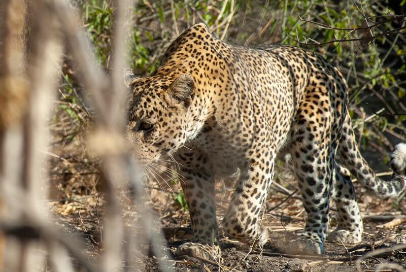 Afrique australe - Botswana, Chobe - apparition fugace d'un léopard ou Panthère (Panthera pardus)