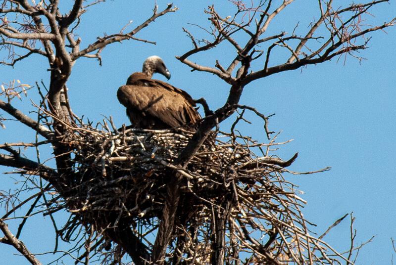 Afrique australe - Botswana, Chobe - Vautour africain (Gyps africanus) - White-backed Vulture