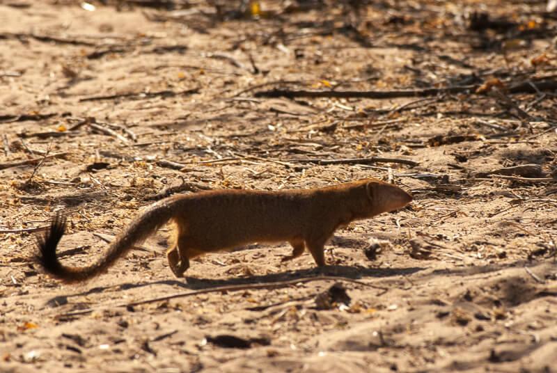 Afrique australe - Botswana, Chobe - Mangouste jaune ou fauve (Cynictis penicillata) Yellow mongoose