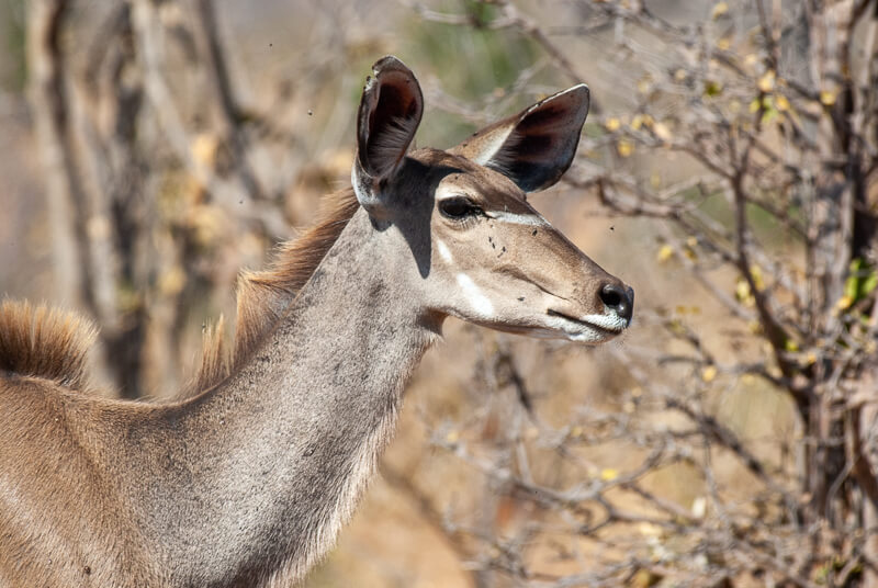 Afrique australe - Botswana, Chobe - Femelle Grand Koudou