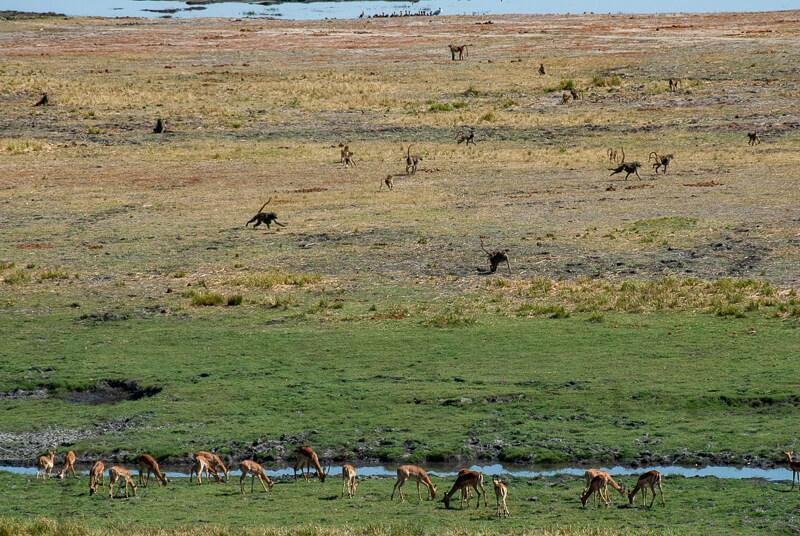 Afrique australe - Botswana, Chobe - Oiseaux, Impalas, Babouins