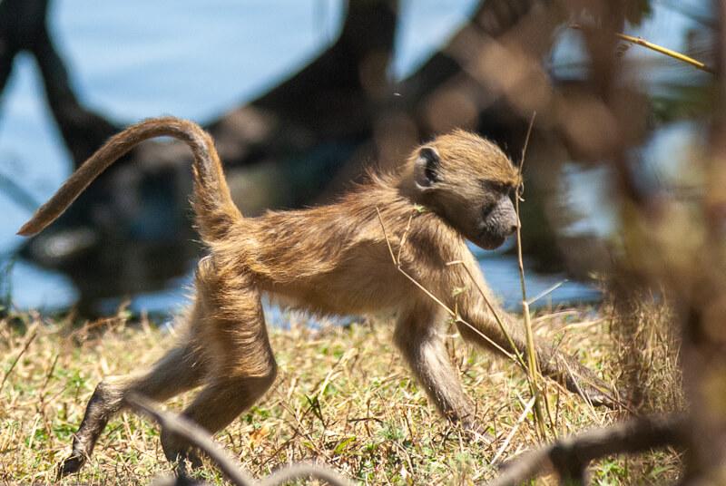 Afrique australe - Botswana, Chobe - jeune Babouin