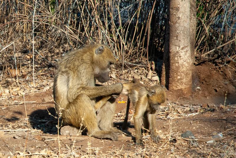 Afrique australe - Zambie, babouins près des chutes Victoria