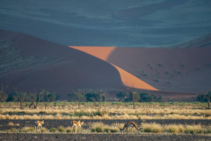 Afrique australe -Namib, - gazelle de Thomson ou springbox au pied des dunes de Sossusllei