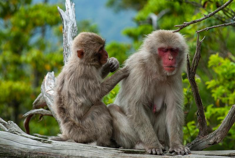 Japon, Miyajima - singes sur le mont Misen