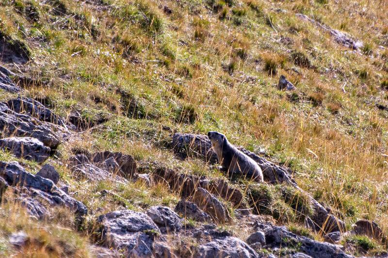 Mercantour, col de la Bonette, marmotte