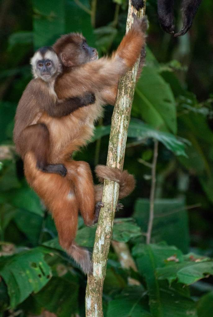 Pérou, Amazonie - Ile aux singes, Singe capuçin