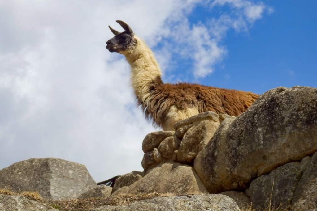 Pérou, Machu Picchu - Lama du Machu Picchu