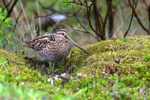 Islande, oiseaux de berges ou de landes