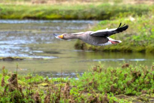 Islande, oiseaux d'eau douce