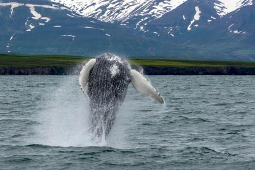 Islande, baleines et phoques