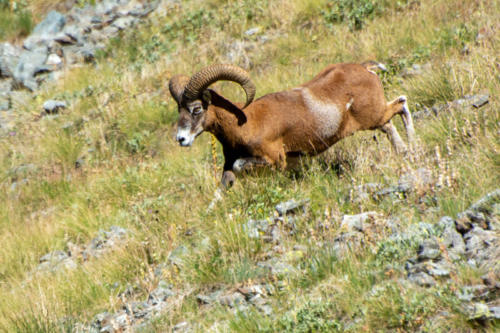Mercantour - faune sauvage